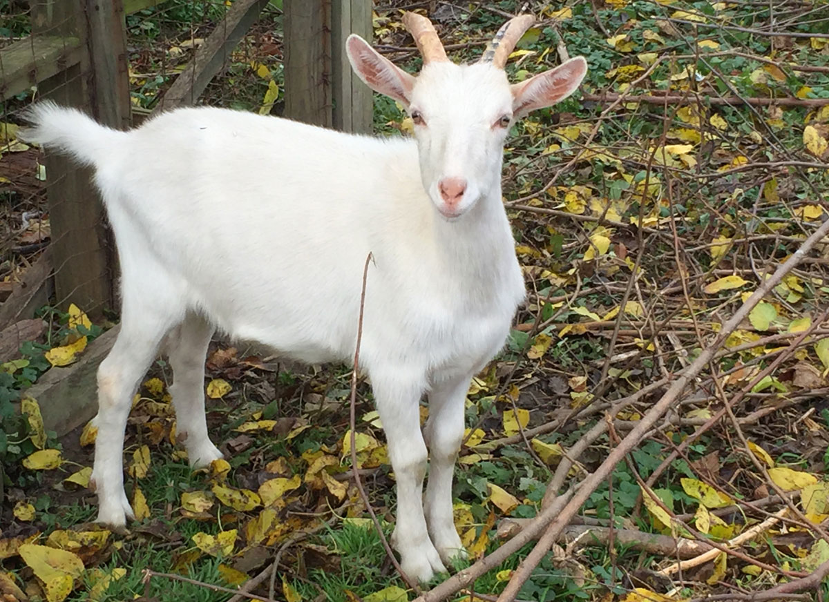 Our little goat.